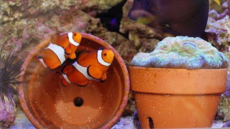 pregnant clownfish