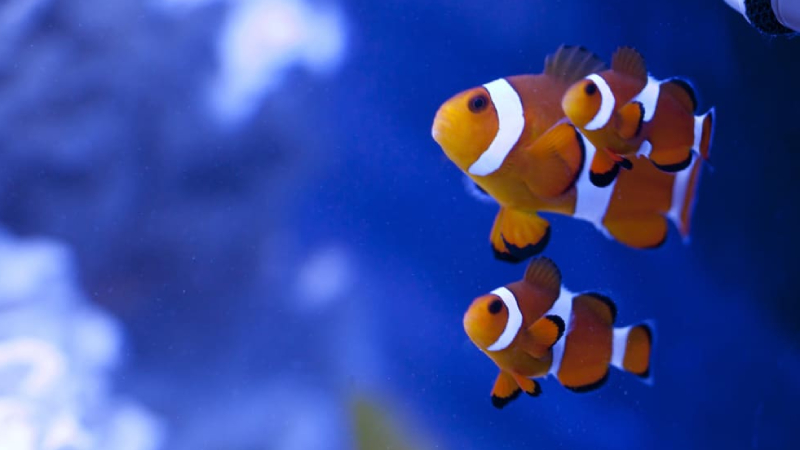 Awesome Fact: What Is The Smallest Clownfish Species?
