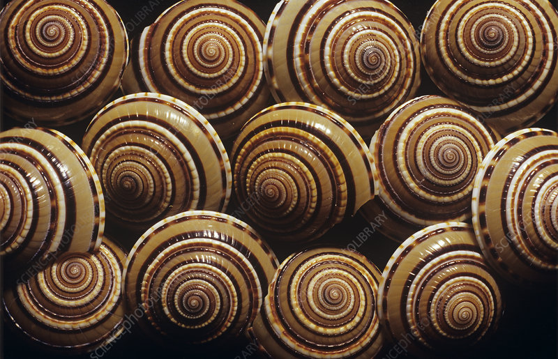 Some Things To Note About Sundial Snails