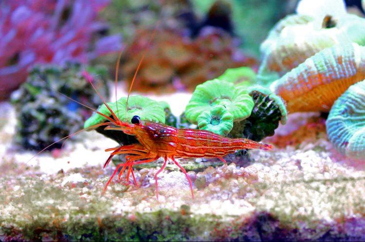 There is no special substrate selection requirement for Peppermint shrimp