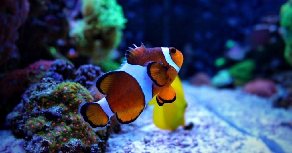 Aquarium with suitable conditions for clownfish