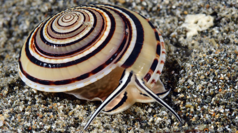 Top 6 Facts And Some Things To Note About Sundial Snail