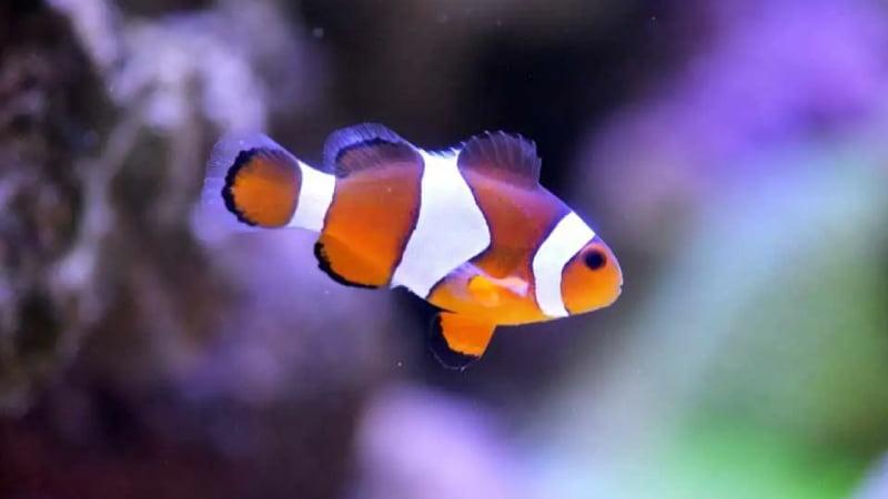 Swim Bladder Disease Clownfish (3 Symptoms And Helpful Cure)
