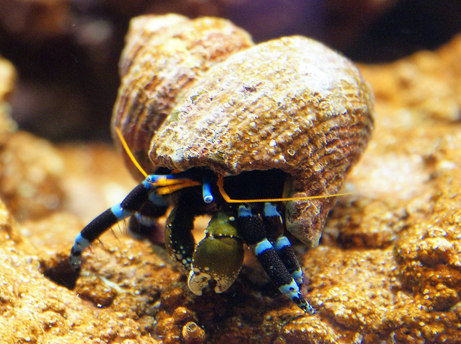 The Behavior Of The Electric Blue Hermit Crab