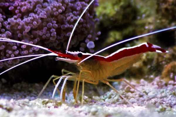 The Cleaner Shrimp Lifespan