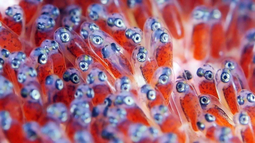 The Eggs Clownfish Hatch
