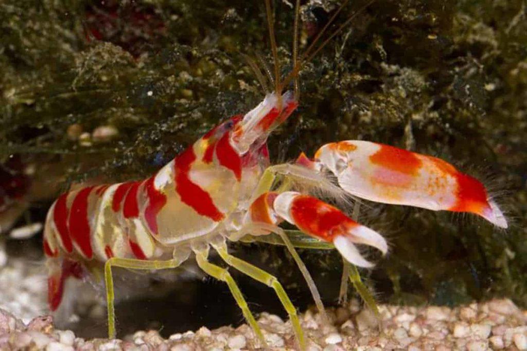The Facts About Pistol Shrimp