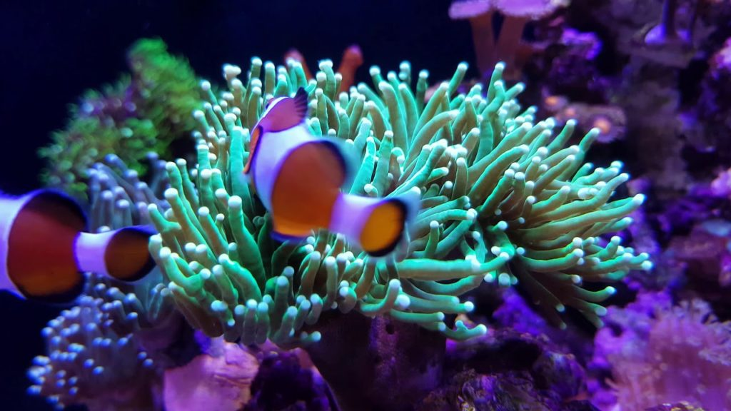 The facts of things about Torch Coral and Clownfish