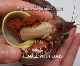The Number Of Offspring Of A Hermit Crab