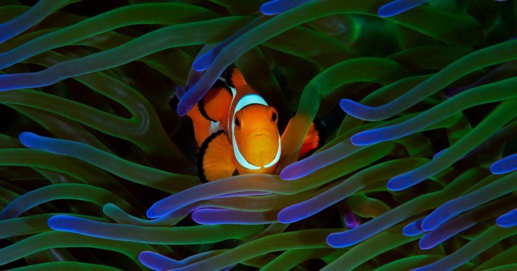 The Process Clownfish Mating Behavior