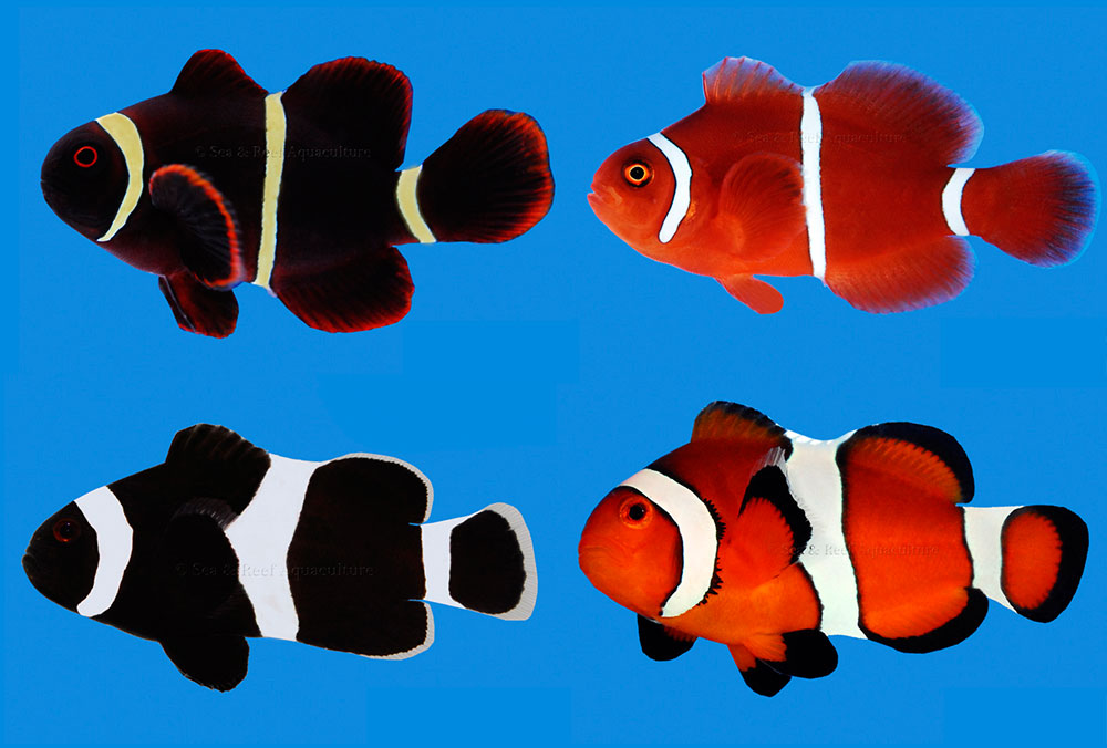 The Stripes of Clownfish