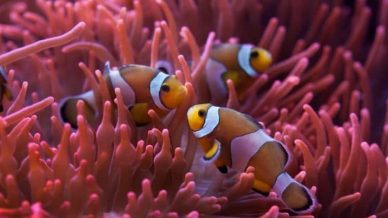 Top 2 Impressive Facts About The Hardy Anemone For Clownfish