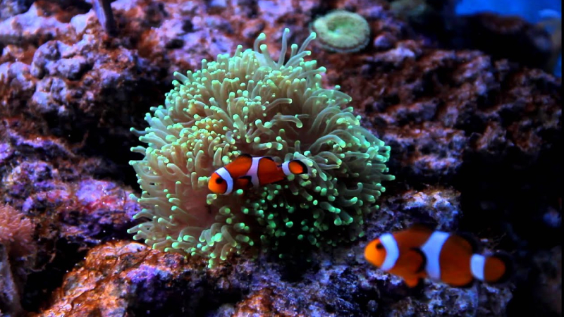 Top 3 Interesting Things About Torch Coral And Clownfish