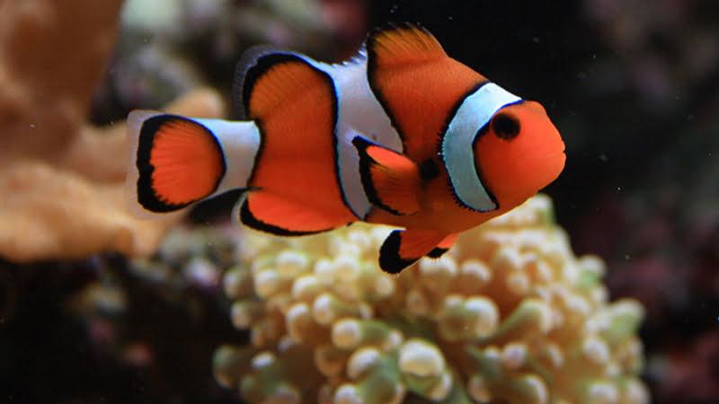 True Percula Clownfish is the smallest clownfish
