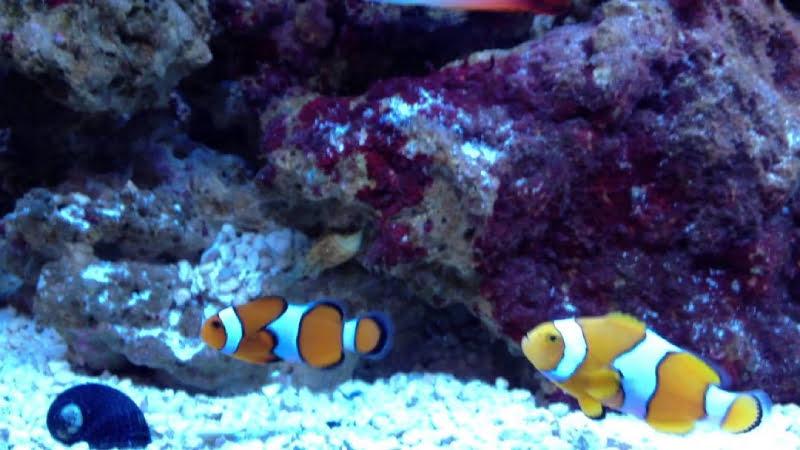 4 Difference Between True vs False Percula Clownfish