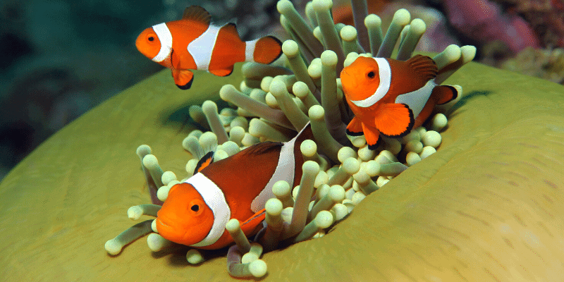 we put clownfish in freshwater