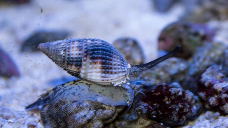 What Do Nassarius Snails Eat? (Care Guide)