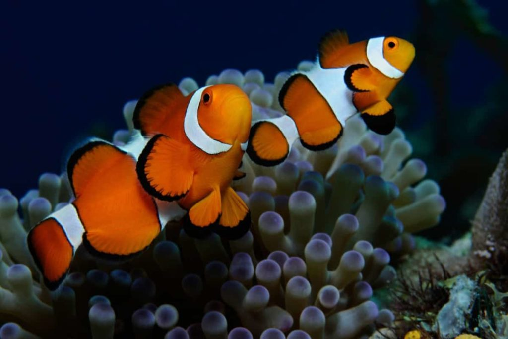 What Temperature Should Clownfish Be Kept At?