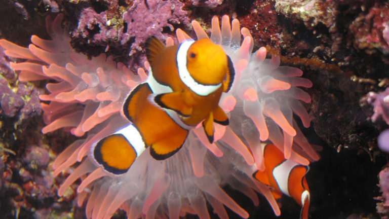 What Will Clownfish Host? Top 4 The Perfect Coral