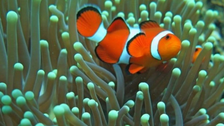 Why Do Clownfish Have Stripes? What Are The Stripes For?