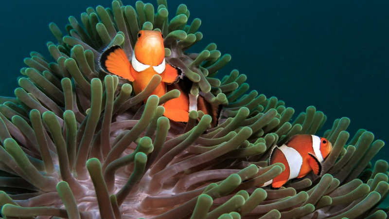 Why Don't Anemones Eat Clownfish?