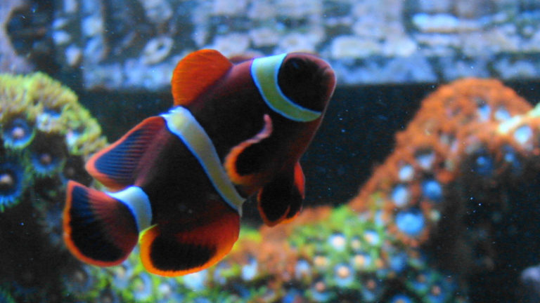 Why You Should Keep Yellow Maroon Clownfish In Your Tank?