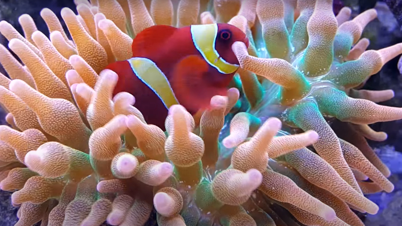 Yellow maroon clownfish and Bubble Tip Anemone.